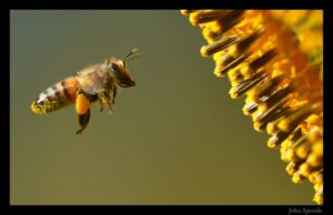bee-photo-john-sproule